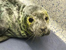 Schmit, a rescued grey seal pup from the 2011/12 season