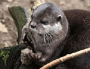 Starsky, our Otter, Juggling a Stone