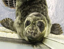 Tiny Tim, a rescued grey seal pup from the 2011/12 season