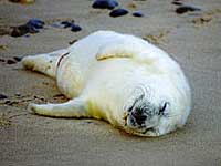 A three day old Grey seal pup